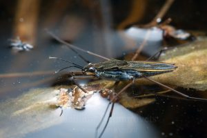 The common pond skater (Gerris lacustris)