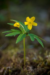 The yellow anemone (Anemone ranunculoides)