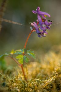 The fumewort (Corydalis solida)