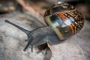 The copse snail (Arianta arbustorum)