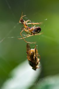 or of orb-weaver spiders (Araneidae)