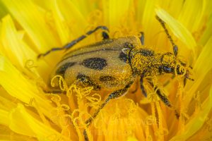 The long-horned beetle (Brachyta interrogationis)