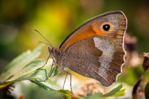 The Meadow Brown (Maniola jurtina)