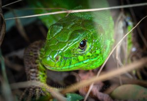 The sand lizard (Lacerta agilis exigua)