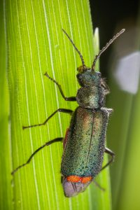 The malachite beetle (Malachius bipustulatus)