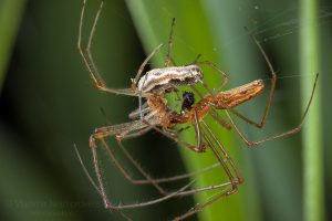 Mating of the Common Stretch-spider (Tetragnatha extensa)