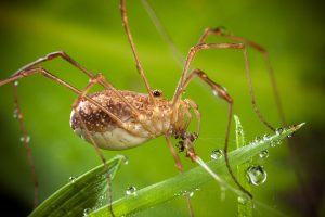 The common harvestman (Phalangium opilio), female