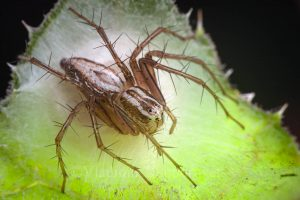 A female of the lynx spider (Oxyopes lineatus) is guarding a cocoon with eggs