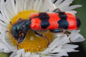 The bee-eating beetle (Trichodes apiarius)