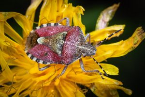 The sloe bug (Dolycoris baccarum)