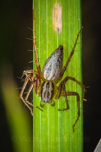 Lynx spider (Oxyopes lineatus) famale.
