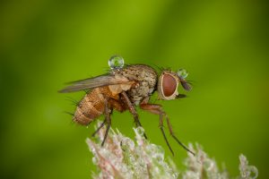 The tachinid fly (Tachinidae)
