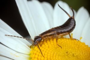 The common earwig (Forficula auricularia)