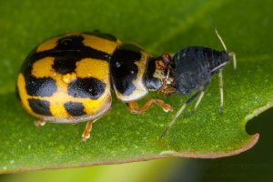 The 14-spotted ladybird (Propylea quatuordecimpunctata) and the black bean aphid (Aphis fabae)