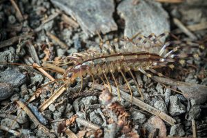 The house centipede (Scutigera coleoptrata)