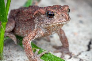 A baby toad (common toad — Bufo bufo)