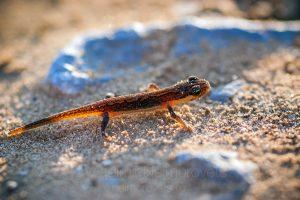 Caucasian smooth newt