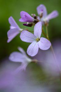 The five-leaved cuckoo flower (Cardamine quinquefolia)