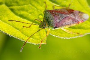 The birch shieldbug (Elasmostethus interstinctus)